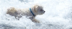 small-dog-big-waves-0