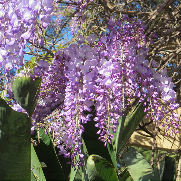 Wisteria at an entrance to Waverley Park, Bondi Road, Bondi.