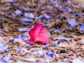A lone bougainvillea flower lying among the fallen jacaranda flowers.