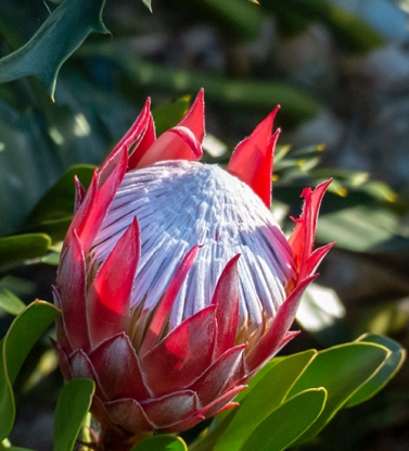 The protea caught my eye while I was sitting. Protea Cyanoides 'Little Prince', according to its sign.